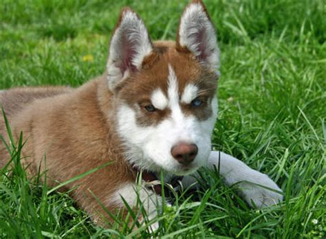 buy husky puppies thor the siberian husky puppies daily puppy