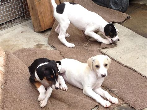 saluki puppies for sale saluki lurcher puppies for sale bishop auckland county durham pets4homes