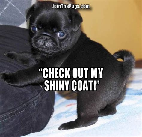 what makes a pug join the pugs gt shiny happy pug