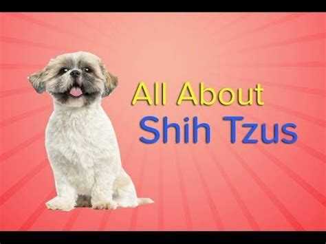 shih tzu puppy information 27 best images about shih tzu on facts care and search