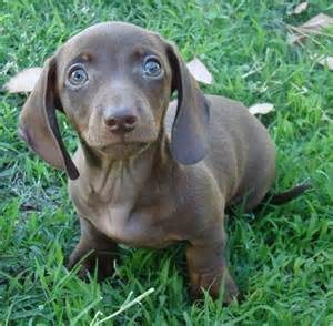 blue mini dachshund puppies for sale smooth miniature dachshund dogs miniature dachshunds
