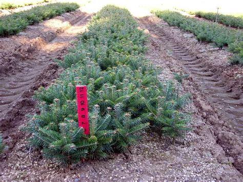 turkish fir tree abies bornmuelleriana turkish fir archives tree farm
