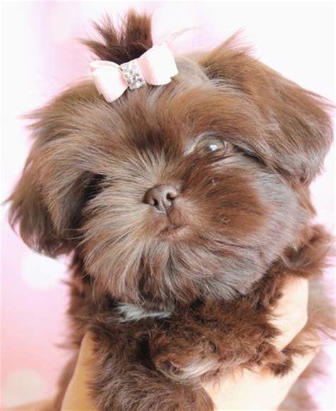 brown shih tzu names shih tzu puppy omg must furbabies