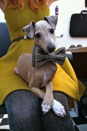 Jo In Pet Bell Tie Intl bow tie puppy