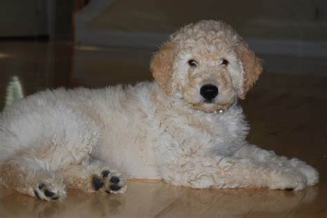 goldendoodle puppies maine f1b goldendoodle haircuts hairstyle gallery