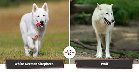 dogs that look like german shepherds dogs that look like wolves 22 dogs that a lupine look