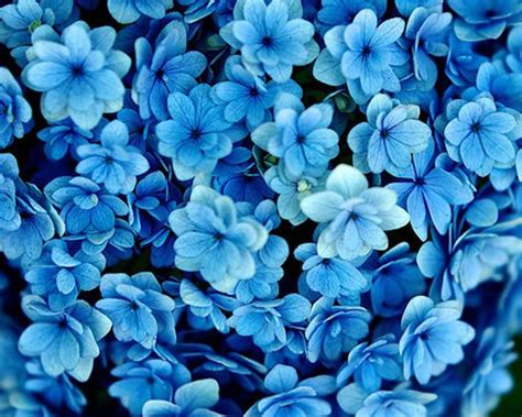 blue flowers picture tiny flowers in bloom light colored blue flowers blue flowers wallpaper wallpaper