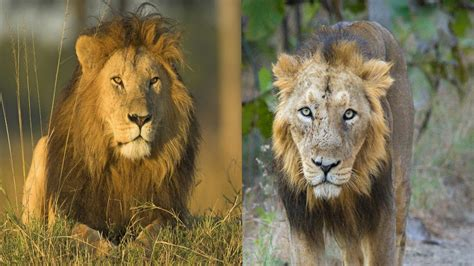 difference between lion and lioness african lion asiatic lion the differences youtube