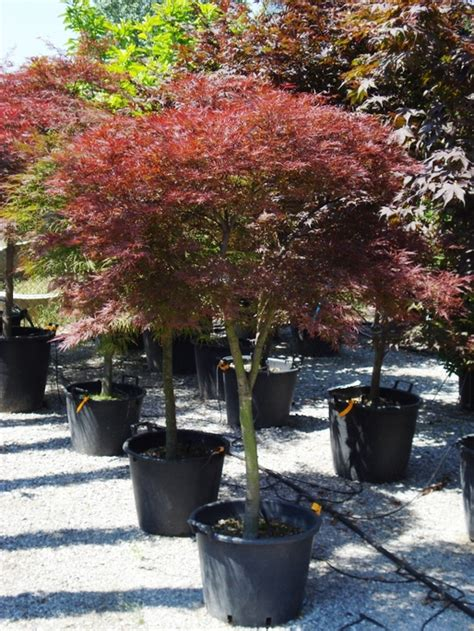 Acero Giappone by Acer Palmatum Acero Giapponese