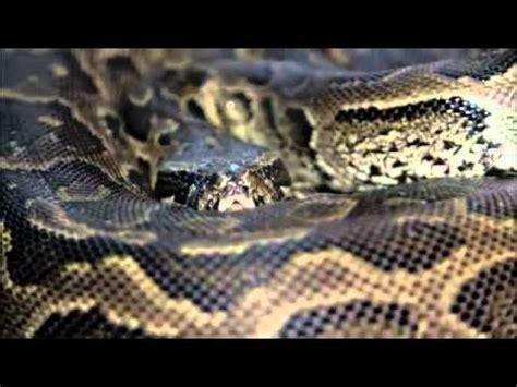 ular sawa makan  vidoemo emotional video unity