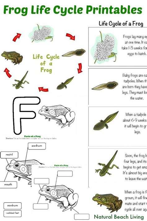 frog cycle template 17 best ideas about frog activities on