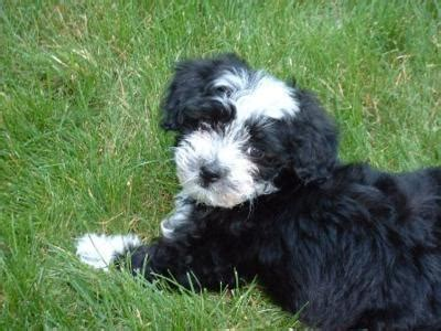 how to a havanese havanese we how to do it