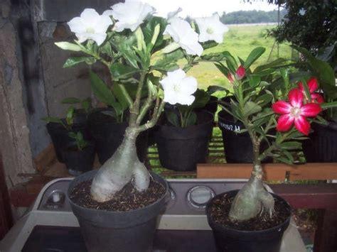 menanam bunga adenium tanaman hias bunga buah  sayur