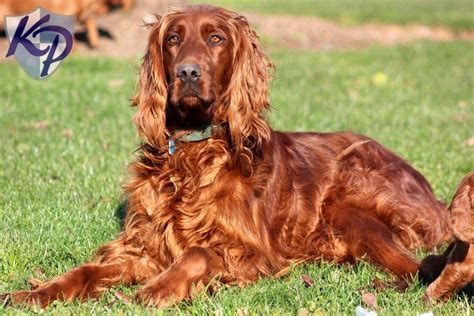 irish setter dog irish setter puppies for sale health guaranteed