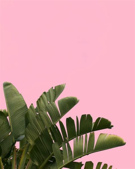 banana palm wallpaper tumblr palm tree on pink background stock photograph instant