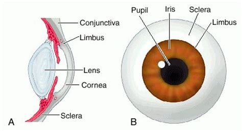 Eye Anatomy Limbus
