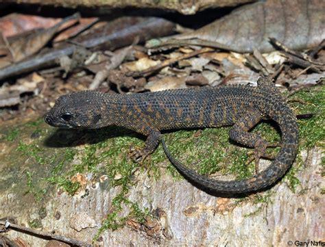 australian backyard lizards australian backyard lizards 28 images australian