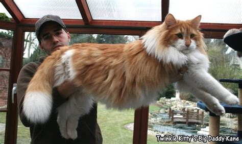 39 best images about Norwegian Forest Cat on Pinterest