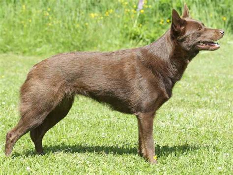 kelpie breed australian kelpie breed information vetstreet autos post