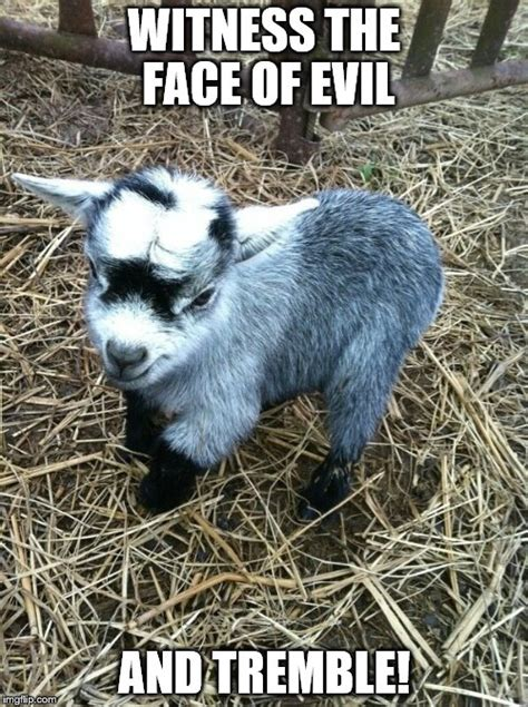 Goat Memes - baby goat meme www pixshark com images galleries with