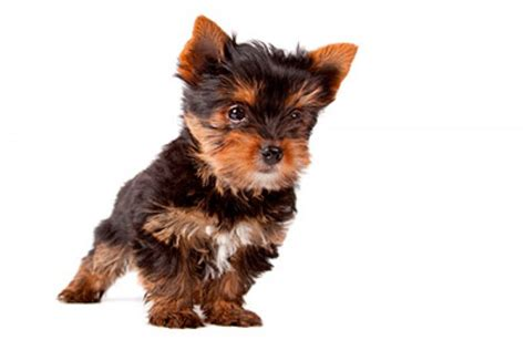 breed yorkie puppies for sale yorkie for sale breeds picture