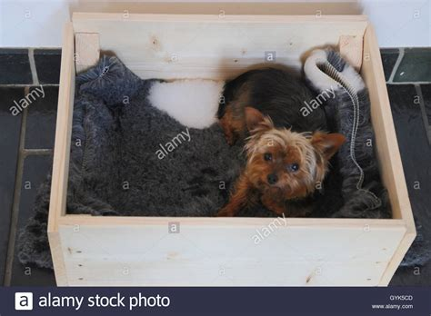 yorkie whelping terrier in whelping box stock photo royalty free image 120279277 alamy