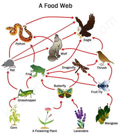 food webs on pinterest food chains science and food 493 best images about science food chains food webs on