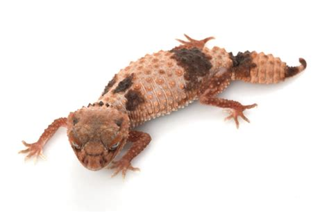 Knob Tailed Gecko For Sale banded knob tailed gecko for sale reptiles for sale