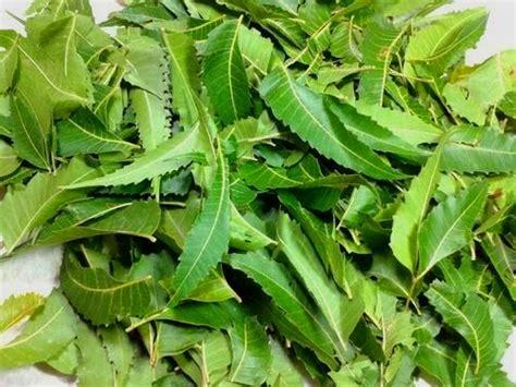 Pestisida Neem 7 tanaman pestisida nabati yang terbukti efektif