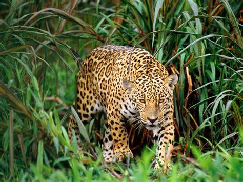 the leopard the biggest animals kingdom juni 2012