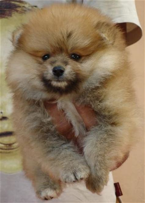 pomeranian puppy price in hyderabad pomeranian puppies for sale yousuf khaja 1 8483 dogs for sale price of puppies