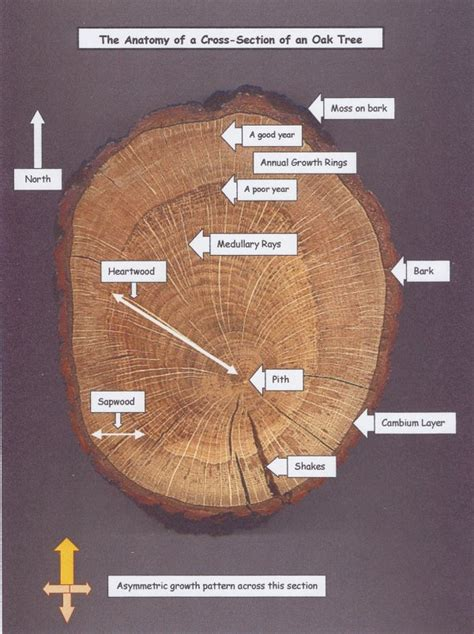 tree cross section st barnabas barn cross section of oak