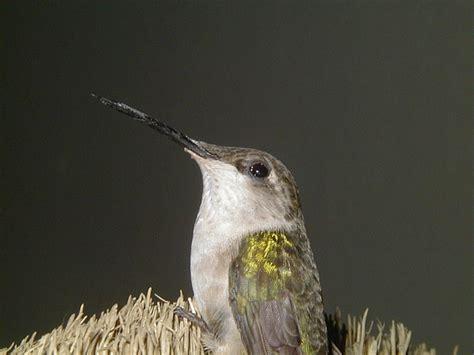 hummingbird canada goose migration