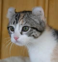 Top of American Curl Cat | Top Cat Directory Bestofcats