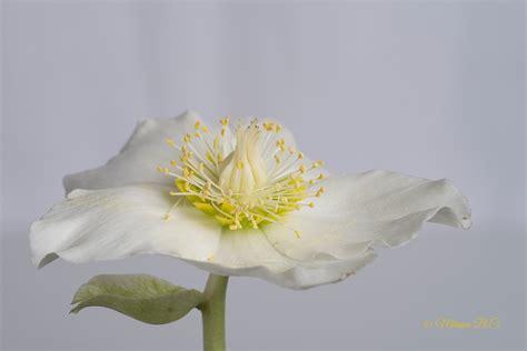 fiore d inverno fiori d inverno
