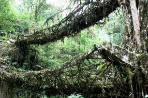 What Is Root Bridge amazing tree bridges are made of living roots and vines root
