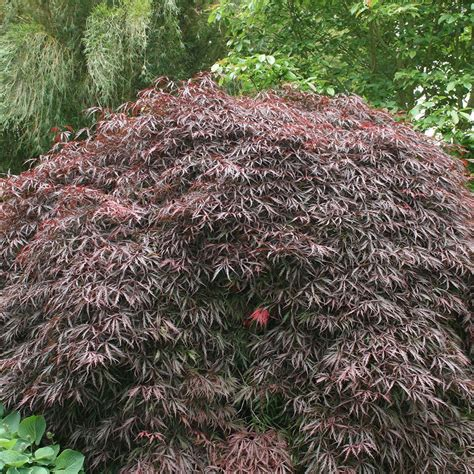 japanese maple tree leaves photosynthesis buy japanese maple acer palmatum inaba shidare 163 22 49 delivery by crocus