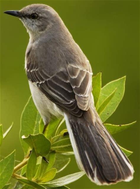 backyard birds of texas state bird of ar fl ms tn tx mockingbird