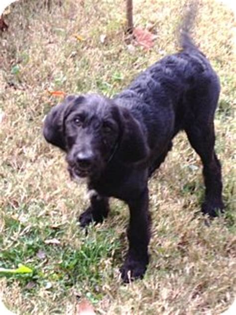 poodle rescue evansville indiana scarlet doodle adopted puppy newburgh in labrador