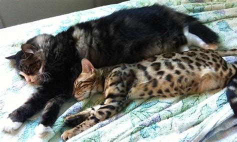 Do Bengal Cats Shed by Bengal Kitten Info From Trendar For Better Bengals Since 1987 Producing Top Quality