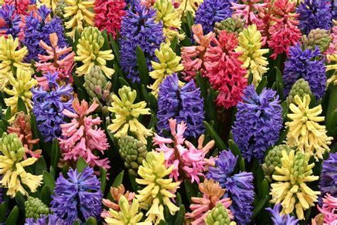 ci di fiori in olanda il parco floreale di keukenhof olanda scoprire il mondo
