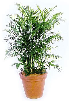 Palm House Plants by Plants That Purify Bamboo Palm Popsugar Home