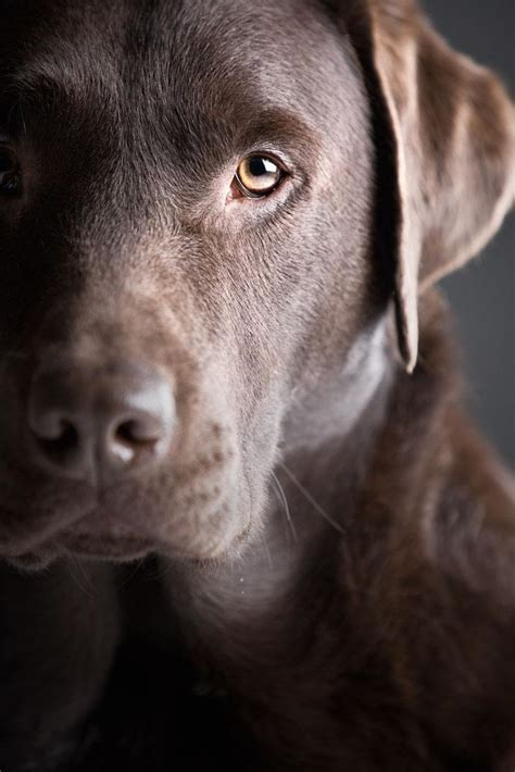 chocolate lab puppy names labrador names yellow lab names chocolate motorcycle review and galleries