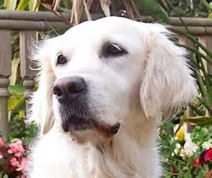 golden retriever lump on chest golden retriever breeder in the uk golden retriever puppies for sale golden