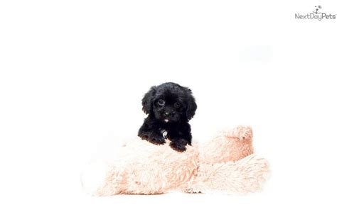 teacup cavapoo puppies for sale puppies for sale and all dogs for sale cavachon cavapoo teacup breeds picture