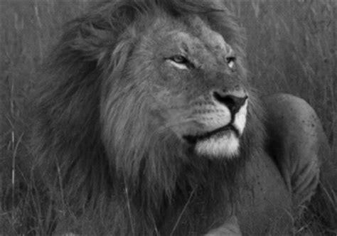 imagenes de leones tumblr gifs animados de leones gifmania