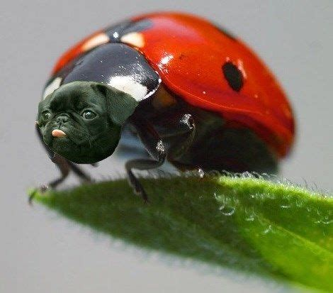 pugs in a bug 132 best images about pugs photoshopped lol on pug bread seals and photoshop