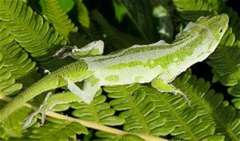 Do Anoles Shed Their Skin by Garden Dragons