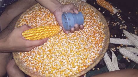 Pisau Serut Perontok Biji Jagung alat perontok pemilir jagung sederhana tanpa mesin