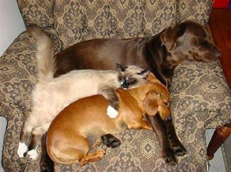 almohadas buenas para dormir 18 adorables gatos que han encontrado la mejor almohada de